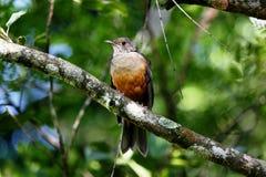 Turdus rufiventris on tree branch Royalty Free Stock Photos