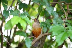 Turdus rufiventris on tree branch Stock Photos