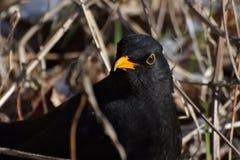 Turdusmerula, gemensam koltrast, delvist en flyttfågel från trastfamiljen Fotografering för Bildbyråer