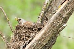 Turduspilaris, Kramsvogel Royalty-vrije Stock Afbeeldingen