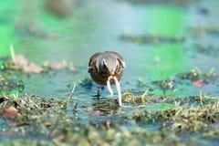 Turduspilaris, Kramsvogel Royalty-vrije Stock Afbeelding