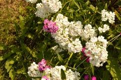 Turecki kwiatu goździk na zamazanym tle zieleń opuszcza dorośnięcie w ogródzie Zdjęcia Stock