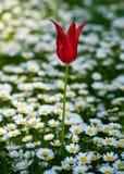 Turecki tulipan Obraz Stock