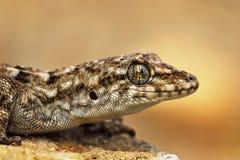 Tureckiego gekonu makro- portret Zdjęcie Royalty Free