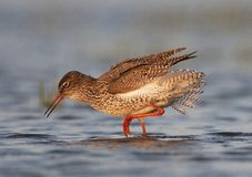 Tureluur, Common Redshank, Tringa totanus. Tureluur roepend; Common Redshank calling stock image