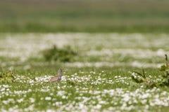 Tureluur, Common Redshank, Tringa totanus stock images