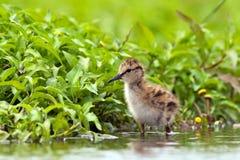 Tureluur, Pospolity Redshank, Tringa totanus zdjęcie stock