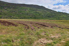 Turf harvesting field. In Ireland Co. kerry stock image