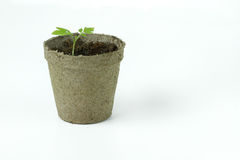 Turfa biodegradável Moss Pot com as plântulas do tomate isoladas no wh Fotografia de Stock