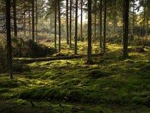 A turfa cobriu a cama spruce da floresta Foto de Stock