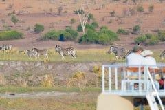 Turist- hållande ögonen på flock av sebror som betar i busken Fartygkryssning och djurlivsafari botswansk gräns på för den Chobe  royaltyfri fotografi