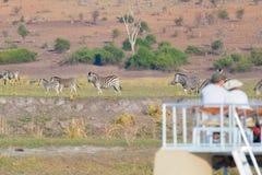 Turist- hållande ögonen på flock av sebror som betar i busken Fartygkryssning och djurlivsafari botswansk gräns på för den Chobe  Royaltyfria Bilder
