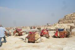 Turist- tur till Egypten till pyramiden av Cheops på kamel royaltyfria bilder