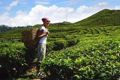 Turista com uma cesta em uma plantação de chá Imagens de Stock
