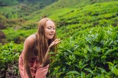 Turista das mulheres em uma plantação de chá As folhas de chá selecionadas, frescas naturais no chá cultivam em Cameron Highlands foto de stock