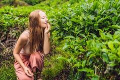 Turista das mulheres em uma plantação de chá As folhas de chá selecionadas, frescas naturais no chá cultivam em Cameron Highlands fotografia de stock