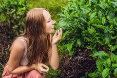 Turista das mulheres em uma plantação de chá As folhas de chá selecionadas, frescas naturais no chá cultivam em Cameron Highlands imagem de stock royalty free