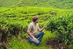 Turista dos homens em uma plantação de chá As folhas de chá selecionadas, frescas naturais no chá cultivam em Cameron Highlands,  imagem de stock