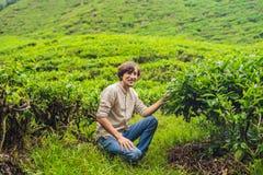 Turista dos homens em uma plantação de chá As folhas de chá selecionadas, frescas naturais no chá cultivam em Cameron Highlands,  fotos de stock
