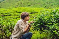 Turista dos homens em uma plantação de chá As folhas de chá selecionadas, frescas naturais no chá cultivam em Cameron Highlands,  fotografia de stock