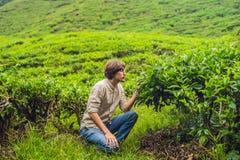 Turista dos homens em uma plantação de chá As folhas de chá selecionadas, frescas naturais no chá cultivam em Cameron Highlands,  foto de stock royalty free