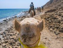Turista en camellos Fotos de archivo libres de regalías