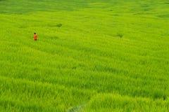 Turista nel giacimento a terrazze del riso sulla montagna, villag di PA Pong Piang Fotografia Stock Libera da Diritti