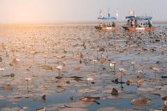 Turista no lírio de água cor-de-rosa no lago, Tailândia Imagem de Stock Royalty Free