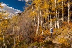 Turista que caminha no bosque do álamo tremedor no outono fotos de stock royalty free