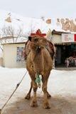 Turistas de espera do camelo Fotografia de Stock Royalty Free