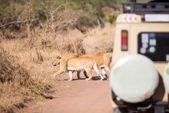 Turistas del safari de la fauna en la impulsión del juego Foto de archivo libre de regalías