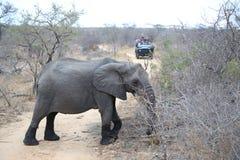 Turistas en vehículo del safari observando el elefante africano del arbusto en el parque nacional de Kruger, Suráfrica imagen de archivo