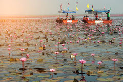 Turistas no lírio de água cor-de-rosa no lago, Tailândia Fotos de Stock Royalty Free