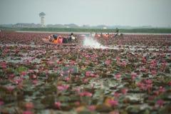 Turistas no mar do lago vermelho dos lírios de água de Lotus Pink Fotografia de Stock Royalty Free