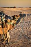 Turistas principales de Beduins en camellos en el viaje turístico corto alrededor Imagen de archivo libre de regalías