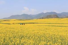 Turistas que caminan entre campos de flores de la rabina de Luoping en Yunnan China Luoping es famoso por las flores de la rabina Fotos de archivo libres de regalías