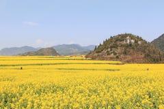 Turistas que caminan entre campos de flores de la rabina de Luoping en Yunnan China Luoping es famoso por las flores de la rabina Imagen de archivo libre de regalías