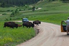Turistas que olham o bisonte fotografia de stock royalty free