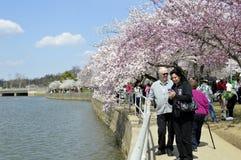 Turistas que tomam uma caminhada e que clicam imagens das flores de cerejeira da primavera no Washington DC Imagens de Stock Royalty Free