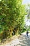 Turisten promenerar gränden i parkera längs busksnåren av denlövrika grå färg-gräsplan laten Phyllostachysviridiglaucescens arkivfoto