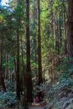 Turister bland träden för jätte- sequoia på Muir Woods royaltyfria bilder