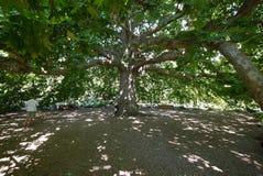 Turister fotograferas nära det forntida väldiga massiva trädet med stora filialer Arkivbilder