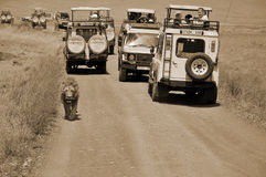 turister i en bil som ser ett lejon Arkivfoto