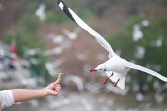 Turister matar fåglar Den vita fiskmåsen flyger till turister arkivfoto