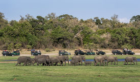 Turister ombord en flotta av safarijeepar håller ögonen på en flock av lösa elefanter som går mot en drink i den Minneriya nation Fotografering för Bildbyråer