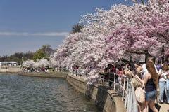Turister på Cherry Blossom Festival Fotografering för Bildbyråer