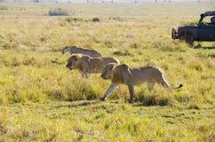 Turister på safari Royaltyfria Foton