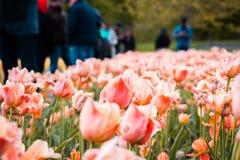 Turister som flockas runt om ett fält av orange och rosa tulpan arkivfoto