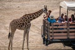 Turister tar vänd som matar en giraff under en husvagn, turnerar royaltyfri fotografi