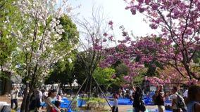 Turister tycker om körsbärsröda blomningar i Tokyo, Japan stock video